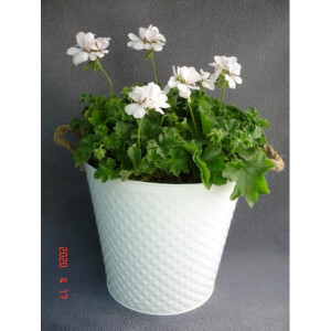 Geranium Planted Container Large