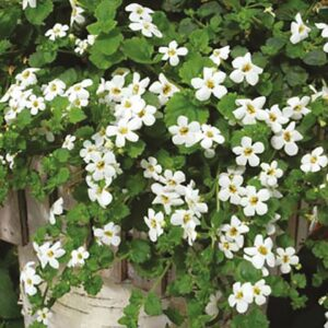 Bacopa 1L Pot