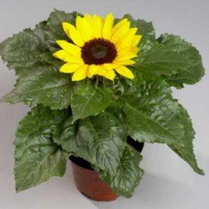 Sunflower Dwarf 12cm pot
