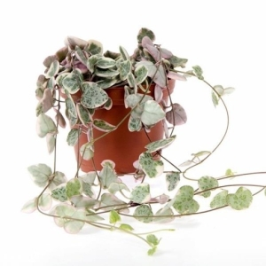 String of Hearts (Ceropegia Woodii) 11cm Pot