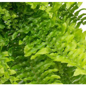 Boston Fern (Nephrolepis) 19cm Hanging Pot