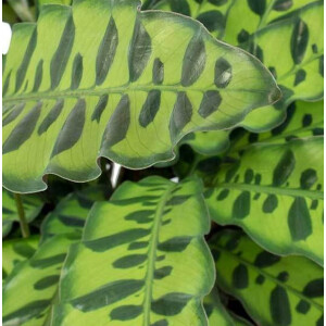 Calathea Lancifolia Insigne 14cm