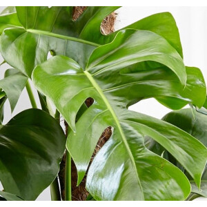 Swiss Cheese Plant (Monstera) 17cm Pot