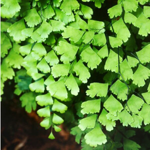 Maidenhair Fern (Adiantum Fragrans) 12cm Pot