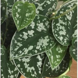 Satin Potho (Scindapsus Pictus) 12cm Pot
