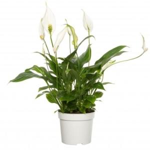 Peace Lily (Spathiphyllum Bellini) 13cm Pot