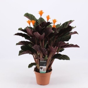 Calathea Crocata (Eternal Flame Plant) 14Cm Pot