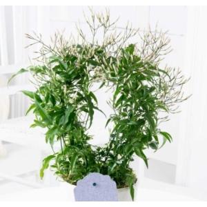 Jasmine (Jasmine Polyanthum) 12cm Pot