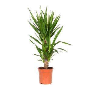 Yucca Elephantipes 14cm Pot
