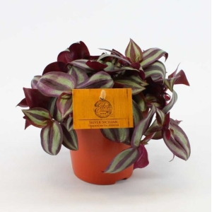 Silver Inch Plant (Tradescantia Purpusii) 12cm Pot