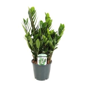 Zanzibar Gem (Zamioculcas Zamiifolia) 14cm Pot