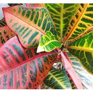 Croton Petra (Codiaeum Variegatum) 12cm Pot