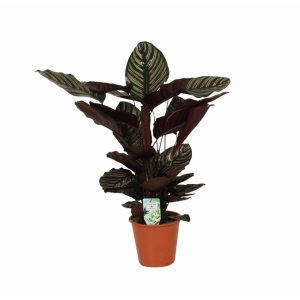 Calathea Sanderiana (Pin Stripe Calathea) 19cm Pot