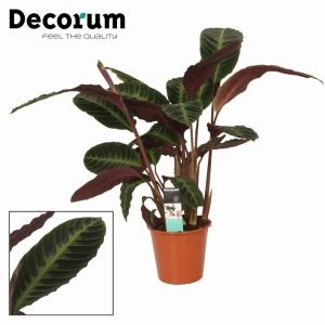 Calathea Warscewiczii (Jungle Velvet Calathea) 19Cm Pot