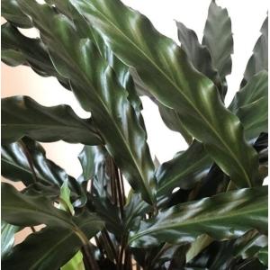 Calathea Wavestar (Calathea Rufibarba) 19cm Pot