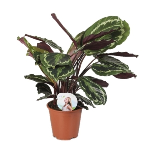 Calathea Roseopicta Medallion 12cm Pot