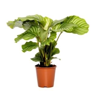Calathea Orbifolia 19Cm Pot