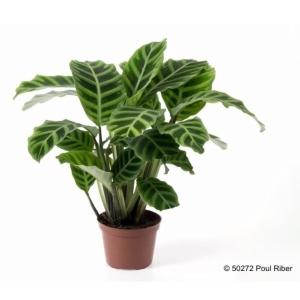 Calathea Zebrina 12cm Pot