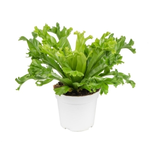 Asplenium Leslie (Crested Japanese Bird's Nest Fern) 17cm Pot