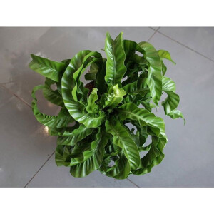 Asplenium Hurricane (Twisted Bird's Nest Fern) 17cm Pot