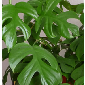 Swiss Cheese Plant (Monstera) Piccolo 19cm Pot