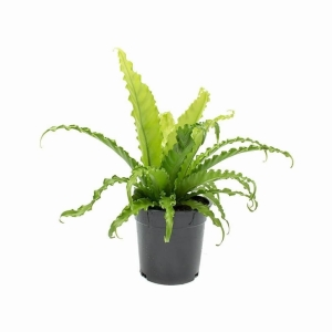 Asplenium Osaka (Japanese Bird's Nest Fern) 17cm Pot