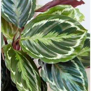 Calathea Roseopicta (Rose-Tinted Calathea) 12cm Pot