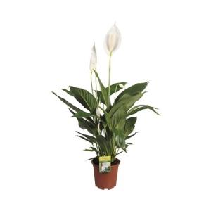 Peace Lily (Spathiphyllum Bellini) 17cm Pot
