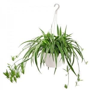Spider Plant (Chlorophytum) 14cm Hanging Pot