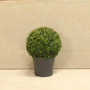 Buxus Topiary Ball 26cm Pot