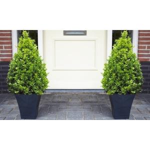 Buxus Topiary Pyramid 26cm Pot