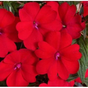 New Guinea Impatiens Red 1L pot