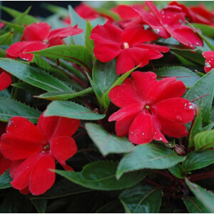New Guinea Impatiens Patio Planter Red 25cm