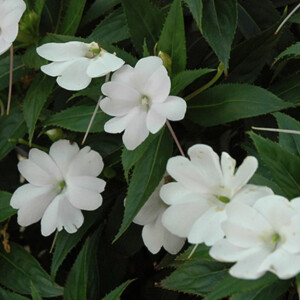 New Guinea Impatiens Patio Planter White 25cm