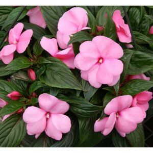 New Guinea Impatiens Patio Planter Pink 25cm