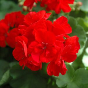 Geranium Patio Planter Red 25cm