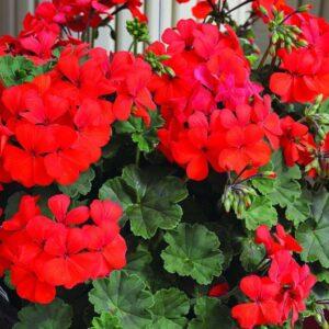 Geranium Bush Red 1L Pot