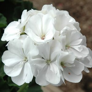 Geranium Patio Planter White 25cm