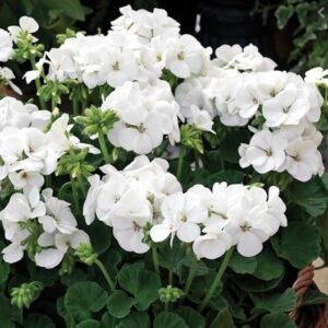 Geranium Bush White 1L Pot