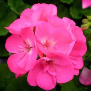Geranium Bush Pink 1L Pot