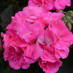 Geranium Patio Planter Pink 25cm