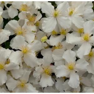 Clematis Montana Grandiflora 3L Pot