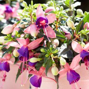 Fuchsia Bella Mariska 1L Pot