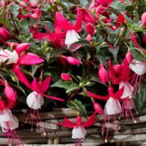 Fuchsia Bella Evita 1L Pot