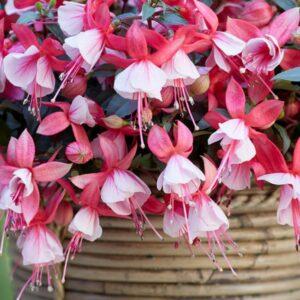 Fuchsia Bella Hilda 1L Pot