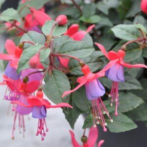Fuchsia Bella Sarah 1L Pot