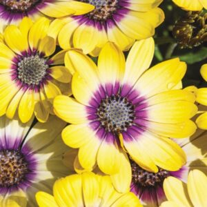 Osteospermum Yellow 10.5cm Pot