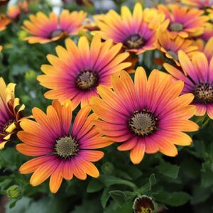 Osteospermum Purple 10.5cm Pot