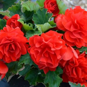 Begonia Non Stop Red 1L Pot
