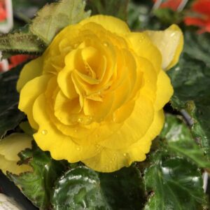 Begonia Non Stop Yellow 1L Pot